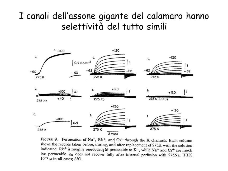 I canali dellassone gigante del calamaro hanno selettività del tutto simili