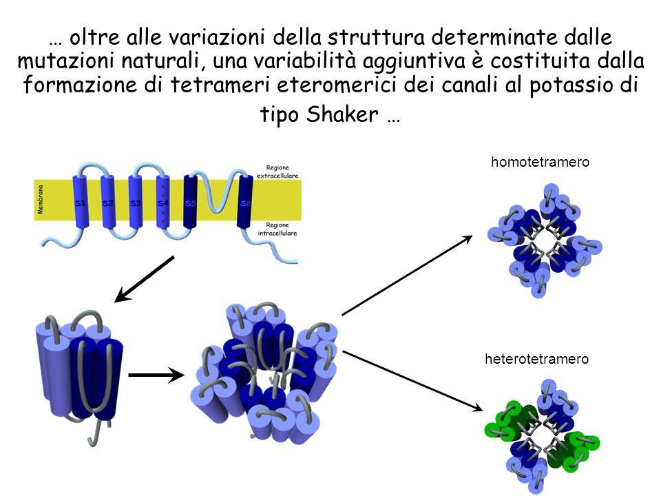 … oltre alle variazioni della struttura determinate dalle mutazioni naturali, una variabilità aggiuntiva è costituita dalla formazione di tetrameri et