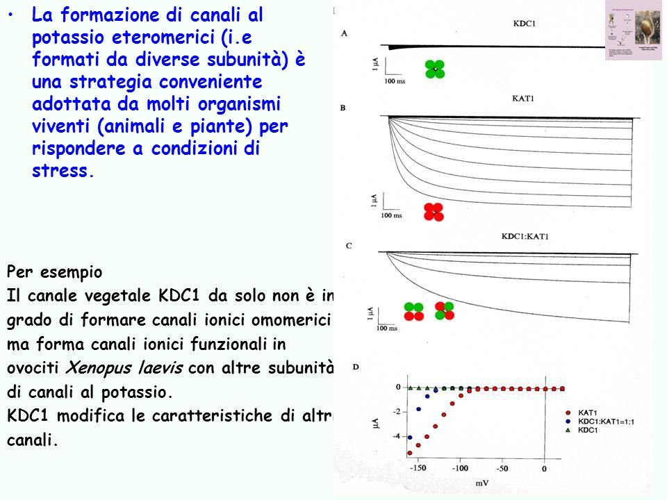 La formazione di canali al potassio eteromerici (i.e formati da diverse subunità) è una strategia conveniente adottata da molti organismi viventi (ani