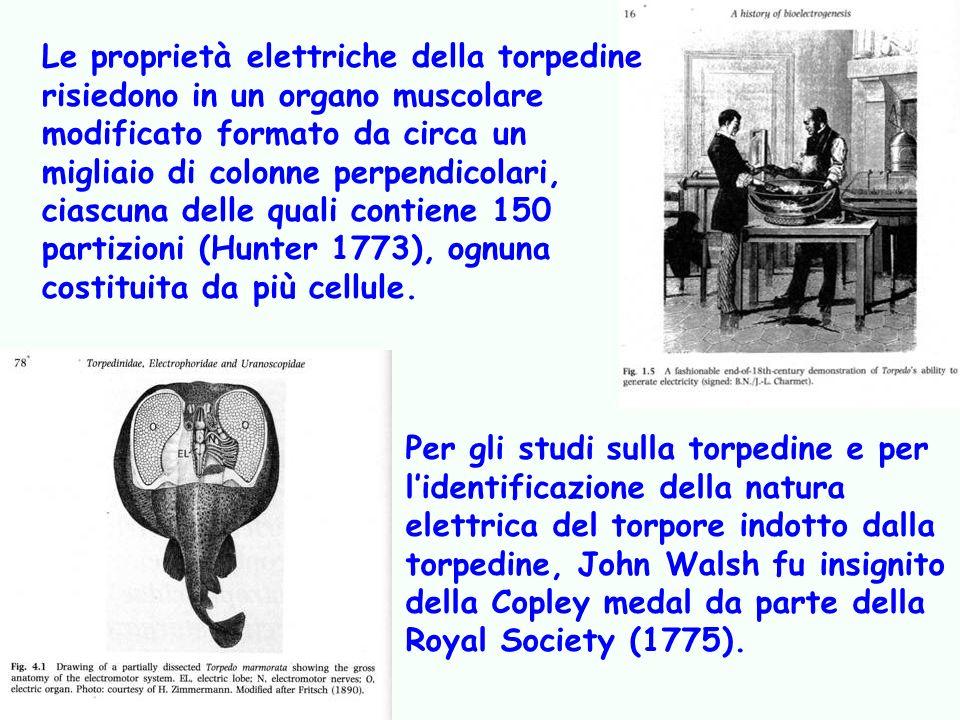 Studi che culminarono nellipotesi sulla trasmissione dei segnali elettrici De viribus electricitatis in motu muscolari commentarius, Galvani 1791, in cui la giunzione neuro-muscolare è equiparata ad una bottiglia di Leida animale.