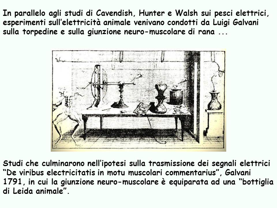 Studi che culminarono nellipotesi sulla trasmissione dei segnali elettrici De viribus electricitatis in motu muscolari commentarius, Galvani 1791, in