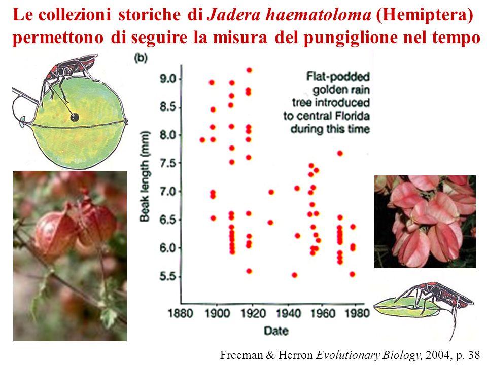 Le collezioni storiche di Jadera haematoloma (Hemiptera) permettono di seguire la misura del pungiglione nel tempo Freeman & Herron Evolutionary Biolo
