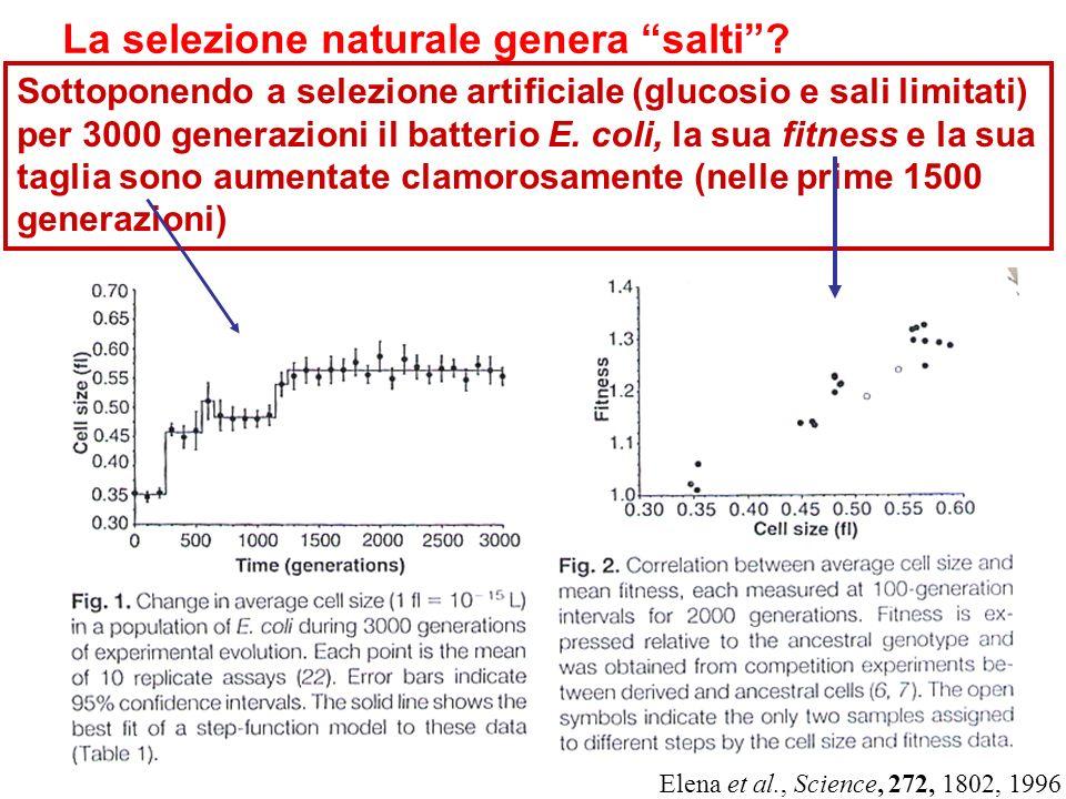 La selezione naturale genera salti? Sottoponendo a selezione artificiale (glucosio e sali limitati) per 3000 generazioni il batterio E. coli, la sua f