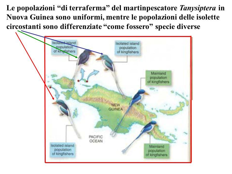 Le popolazioni di terraferma del martinpescatore Tanysiptera in Nuova Guinea sono uniformi, mentre le popolazioni delle isolette circostanti sono diff