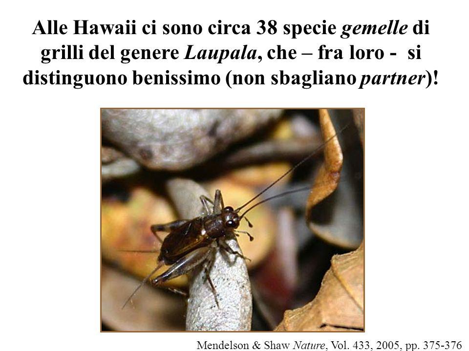 Alle Hawaii ci sono circa 38 specie gemelle di grilli del genere Laupala, che – fra loro - si distinguono benissimo (non sbagliano partner)! Mendelson