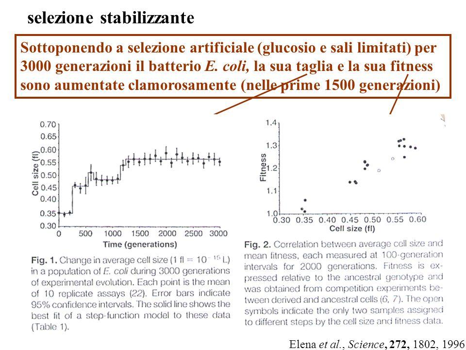 selezione stabilizzante Sottoponendo a selezione artificiale (glucosio e sali limitati) per 3000 generazioni il batterio E. coli, la sua taglia e la s