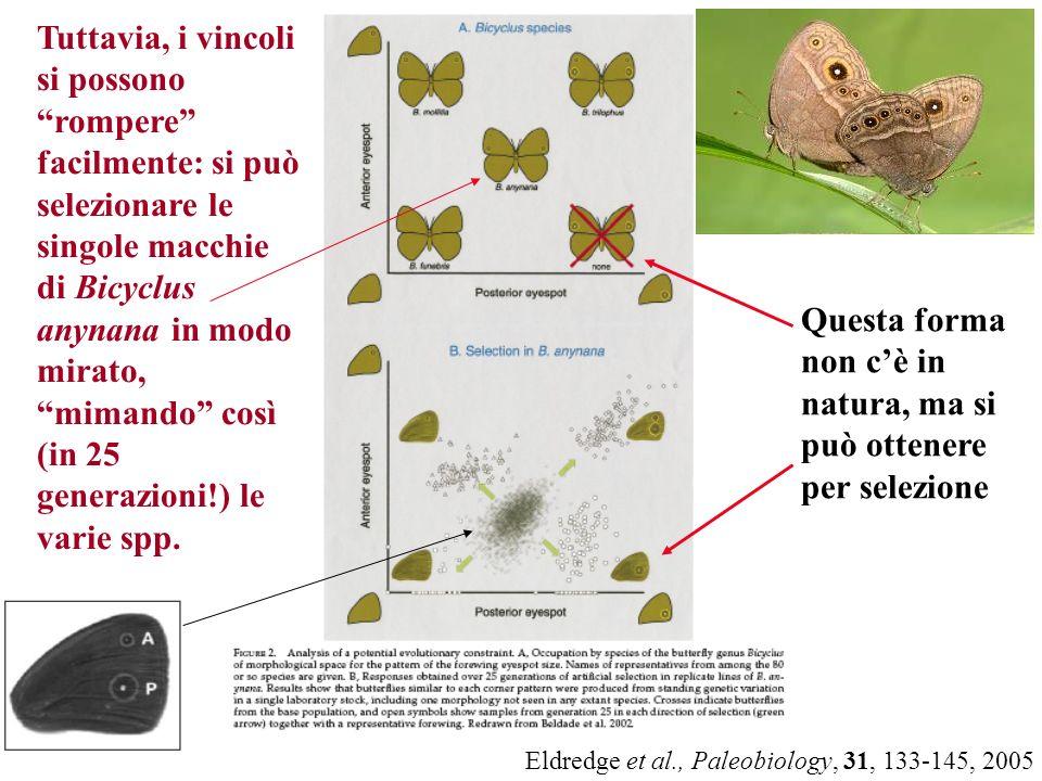 Eldredge et al., Paleobiology, 31, 133-145, 2005 Questa forma non cè in natura, ma si può ottenere per selezione Tuttavia, i vincoli si possono romper