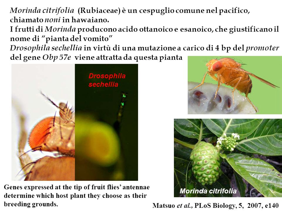 Genes expressed at the tip of fruit flies antennae determine which host plant they choose as their breeding grounds. Morinda citrifolia Matsuo et al.,