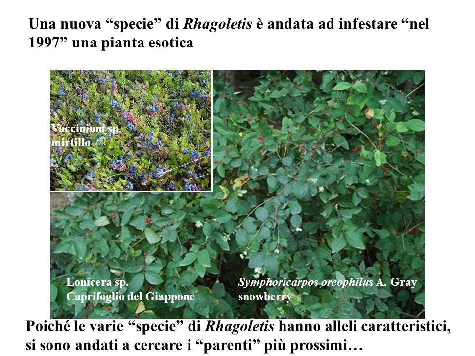 Symphoricarpos oreophilus A. Gray snowberry Lonicera sp. Caprifoglio del Giappone Vaccinium sp. mirtillo Una nuova specie di Rhagoletis è andata ad in
