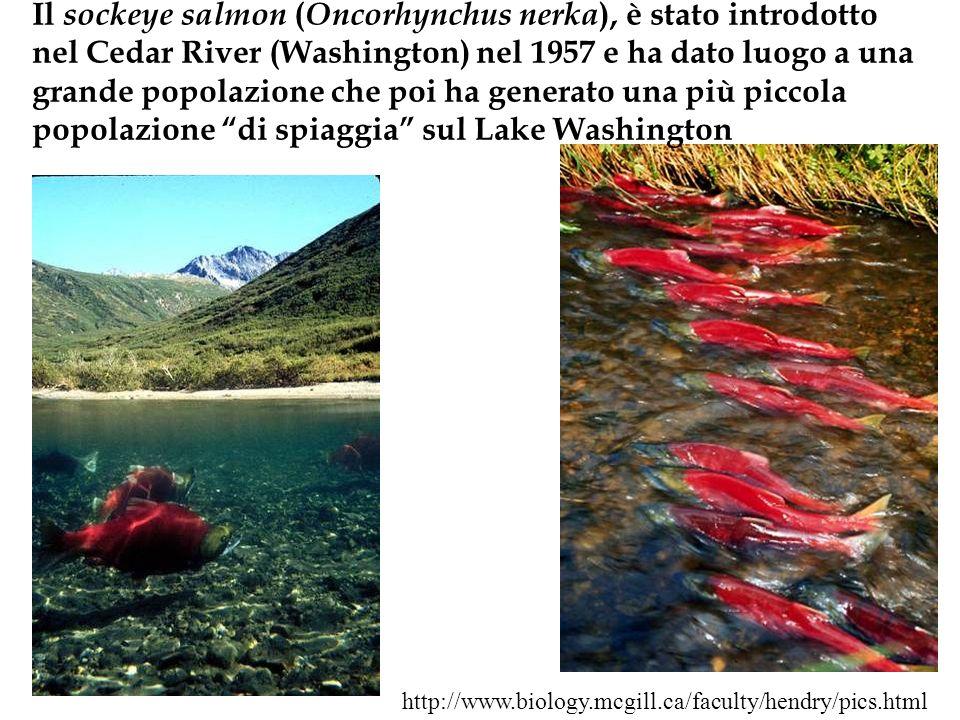 Il sockeye salmon ( Oncorhynchus nerka ), è stato introdotto nel Cedar River (Washington) nel 1957 e ha dato luogo a una grande popolazione che poi ha
