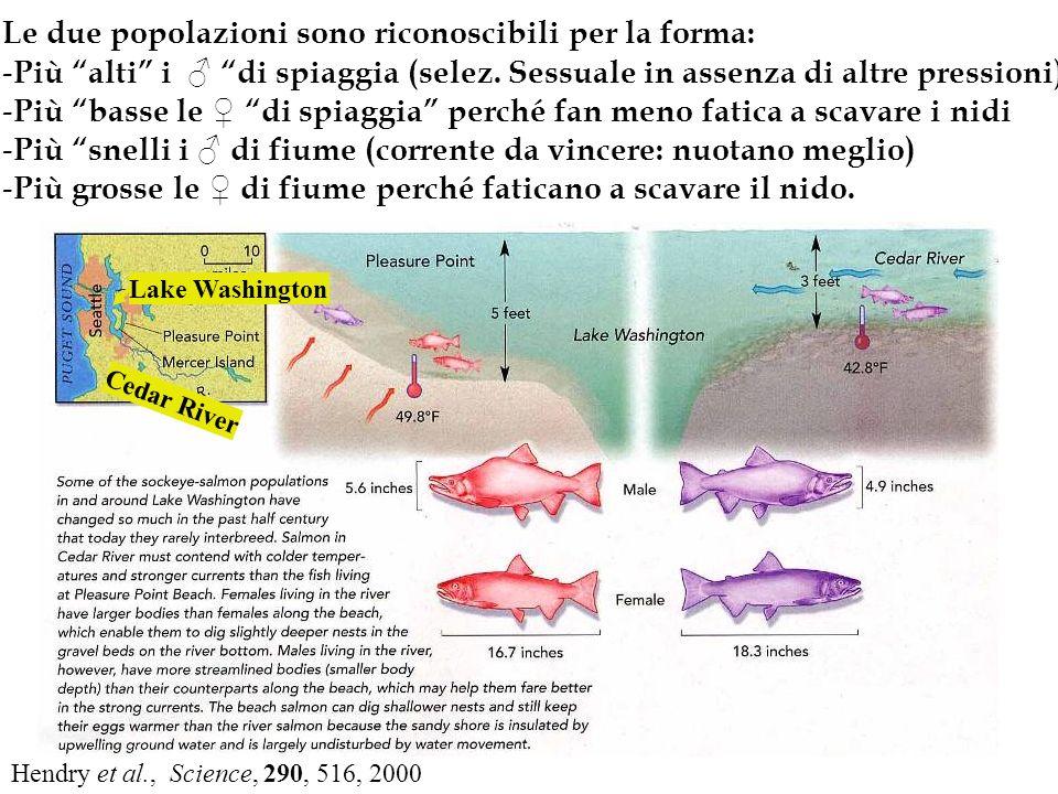 Le due popolazioni sono riconoscibili per la forma: - Più alti i di spiaggia (selez. Sessuale in assenza di altre pressioni) - Più basse le di spiaggi