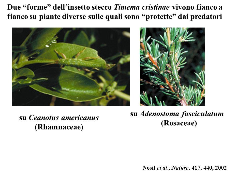 Nosil et al., Nature, 417, 440, 2002 Due forme dellinsetto stecco Timema cristinae vivono fianco a fianco su piante diverse sulle quali sono protette