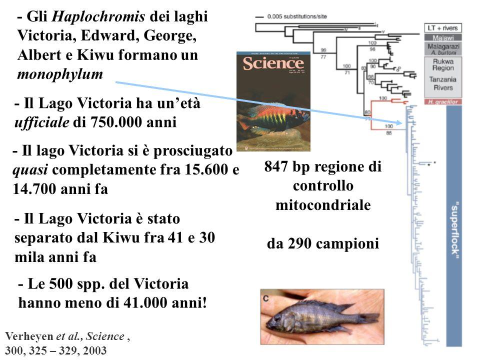 Verheyen et al., Science, 300, 325 – 329, 2003 847 bp regione di controllo mitocondriale da 290 campioni - Il Lago Victoria ha unetà ufficiale di 750.