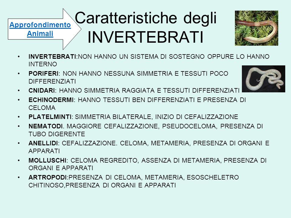 Caratteristiche degli INVERTEBRATI INVERTEBRATI:NON HANNO UN SISTEMA DI SOSTEGNO OPPURE LO HANNO INTERNO PORIFERI: NON HANNO NESSUNA SIMMETRIA E TESSU