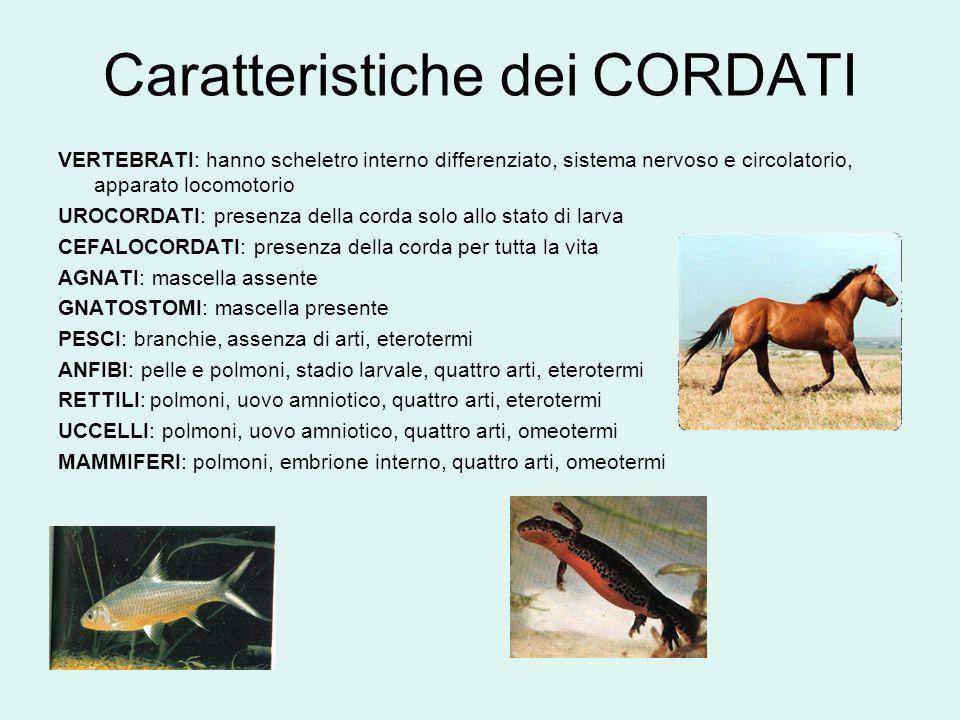 Caratteristiche dei CORDATI VERTEBRATI: hanno scheletro interno differenziato, sistema nervoso e circolatorio, apparato locomotorio UROCORDATI: presen