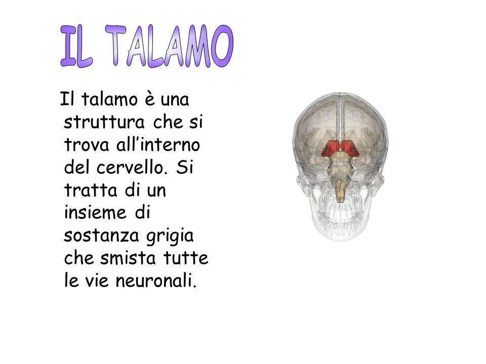 Il talamo è una struttura che si trova allinterno del cervello. Si tratta di un insieme di sostanza grigia che smista tutte le vie neuronali.