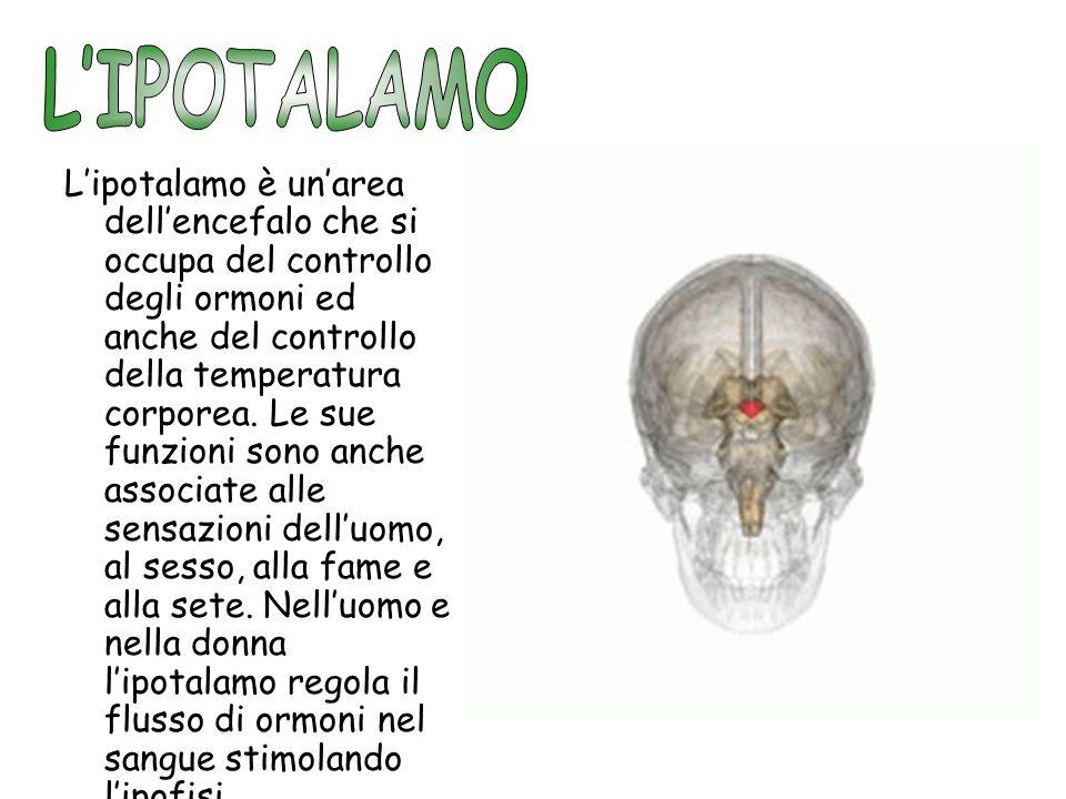 Lipotalamo è unarea dellencefalo che si occupa del controllo degli ormoni ed anche del controllo della temperatura corporea. Le sue funzioni sono anch