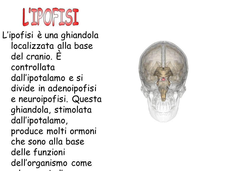 Lipofisi è una ghiandola localizzata alla base del cranio. È controllata dallipotalamo e si divide in adenoipofisi e neuroipofisi. Questa ghiandola, s