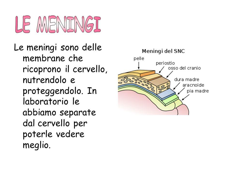 Le meningi sono delle membrane che ricoprono il cervello, nutrendolo e proteggendolo. In laboratorio le abbiamo separate dal cervello per poterle vede