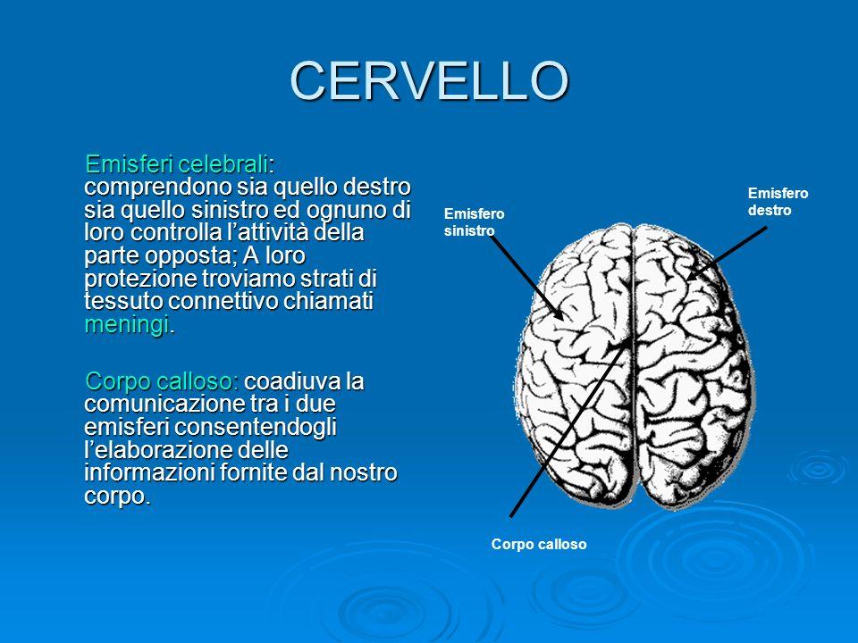 CERVELLETTO cervelletto Cervelletto: è il centro operativo che coordina i movimenti del corpo ed è anche coinvolto nei processi di apprendimento e di memoria delle risposte motorie.