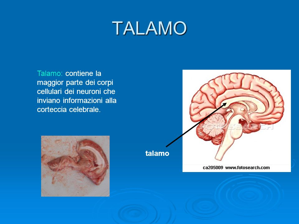 TALAMO Talamo: contiene la maggior parte dei corpi cellulari dei neuroni che inviano informazioni alla corteccia celebrale. talamo