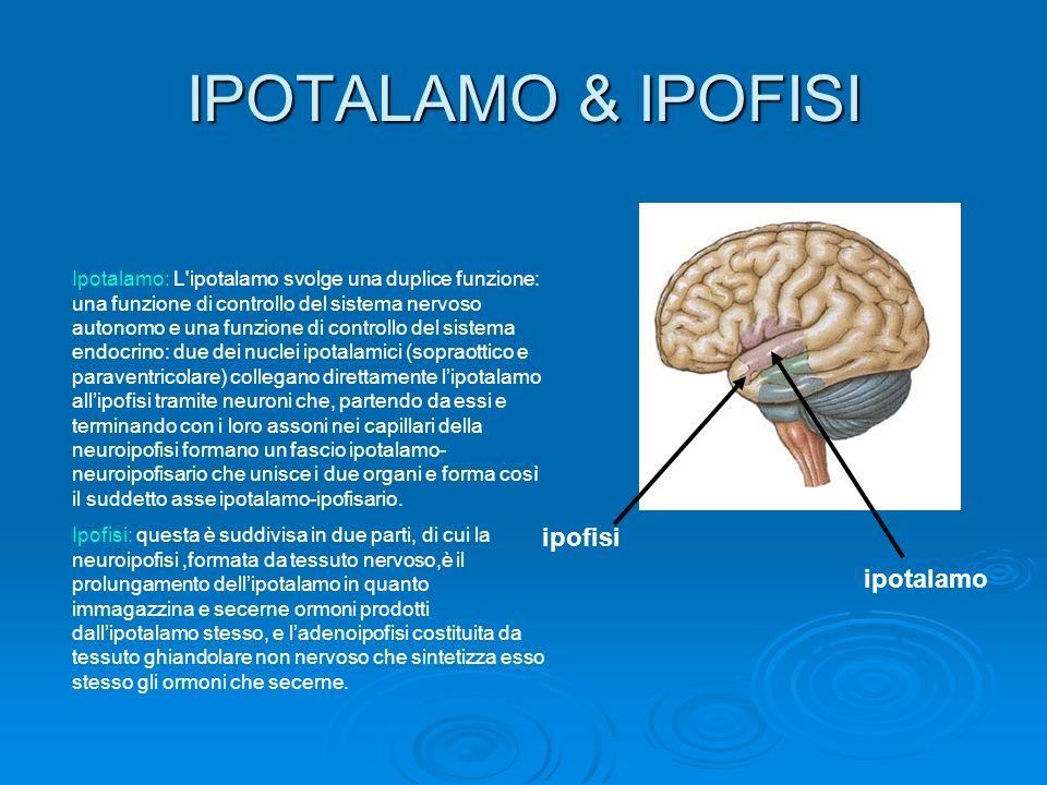 IPOTALAMO & IPOFISI ipofisi ipotalamo Ipotalamo: L'ipotalamo svolge una duplice funzione: una funzione di controllo del sistema nervoso autonomo e una