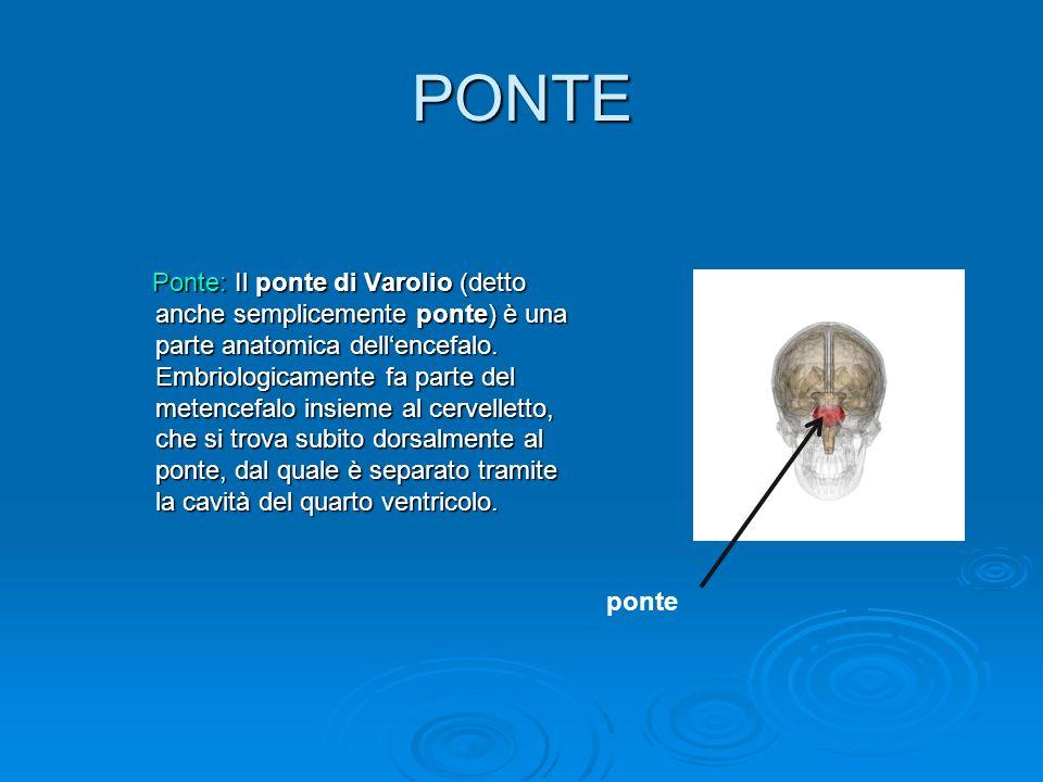 PONTE Ponte: Il ponte di Varolio (detto anche semplicemente ponte) è una parte anatomica dellencefalo. Embriologicamente fa parte del metencefalo insi