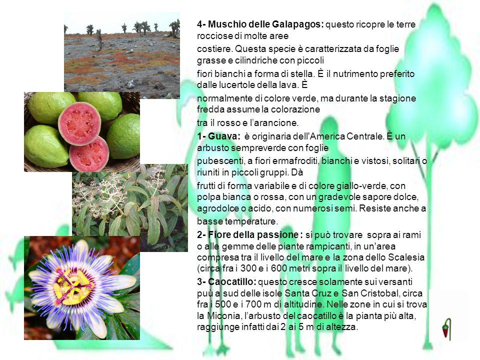 4- Muschio delle Galapagos: questo ricopre le terre rocciose di molte aree costiere. Questa specie è caratterizzata da foglie grasse e cilindriche con