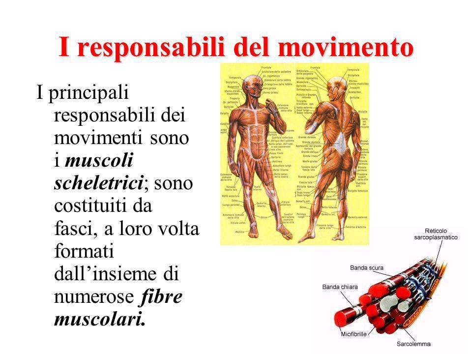 I responsabili del movimento I principali responsabili dei movimenti sono i muscoli scheletrici; sono costituiti da fasci, a loro volta formati dallinsieme di numerose fibre muscolari.