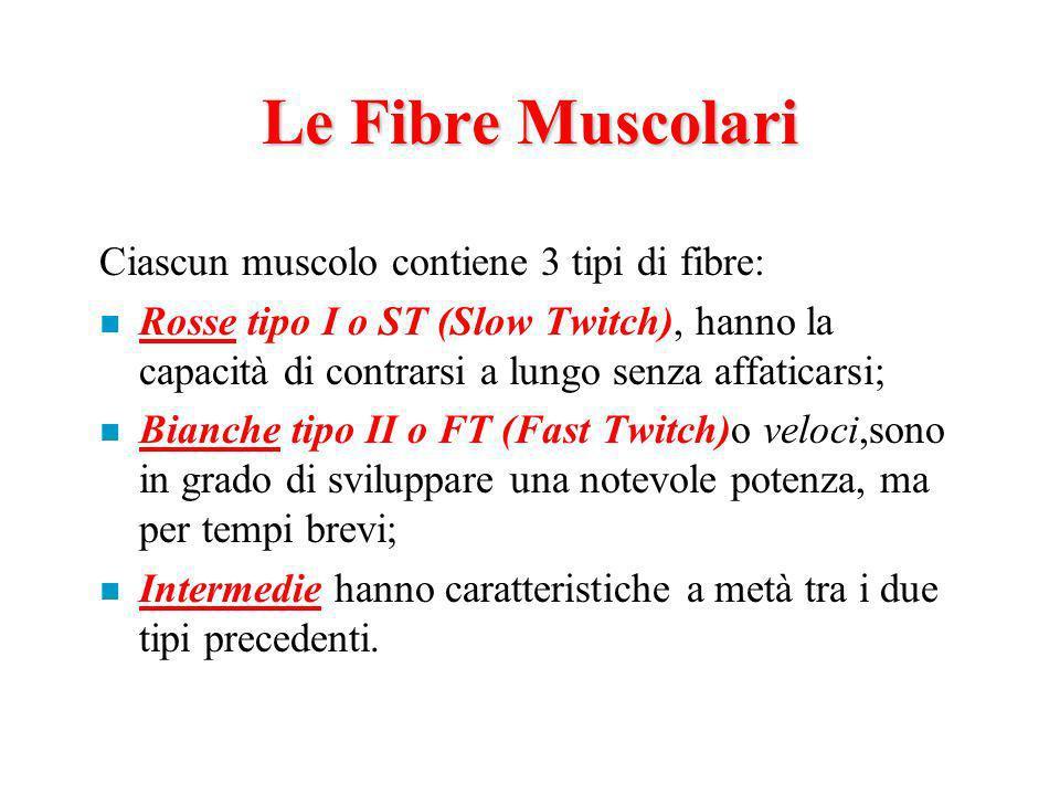 Le Fibre Muscolari Ciascun muscolo contiene 3 tipi di fibre: n Rosse tipo I o ST (Slow Twitch), hanno la capacità di contrarsi a lungo senza affaticarsi; n Bianche tipo II o FT (Fast Twitch)o veloci,sono in grado di sviluppare una notevole potenza, ma per tempi brevi; n Intermedie hanno caratteristiche a metà tra i due tipi precedenti.