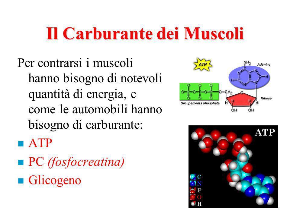 Il Carburante dei Muscoli Per contrarsi i muscoli hanno bisogno di notevoli quantità di energia, e come le automobili hanno bisogno di carburante: n ATP n PC (fosfocreatina) n Glicogeno