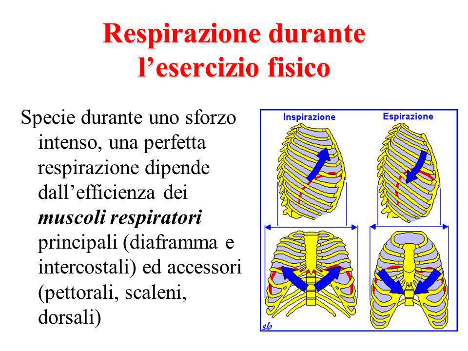 Respirazione durante lesercizio fisico Specie durante uno sforzo intenso, una perfetta respirazione dipende dallefficienza dei muscoli respiratori principali (diaframma e intercostali) ed accessori (pettorali, scaleni, dorsali)