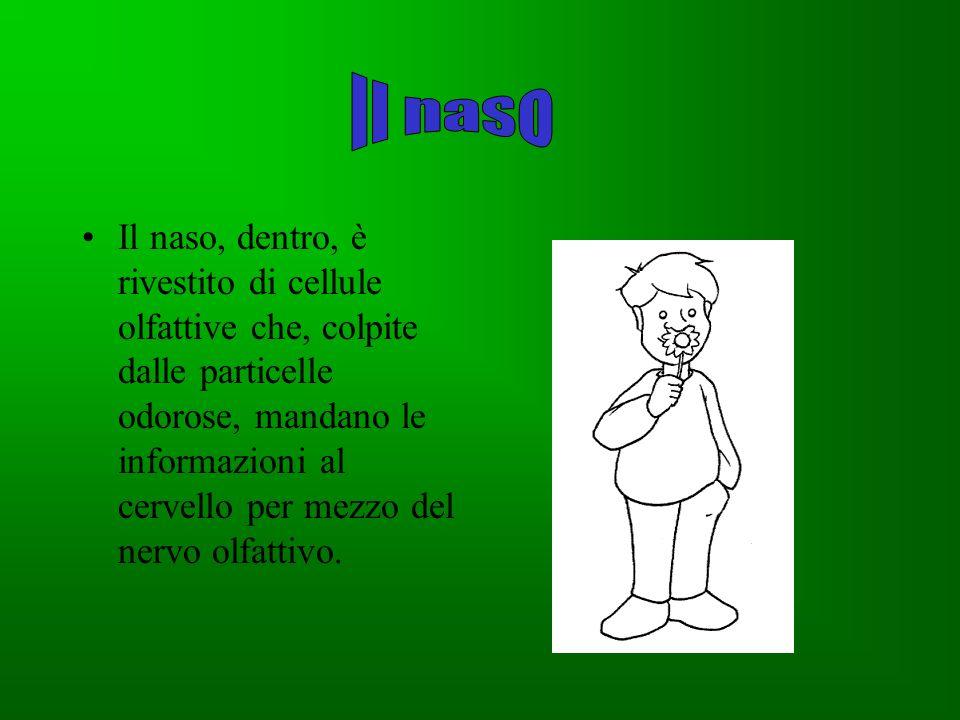 Il muco Il muco mantiene umide le cavità del naso e scioglie le particelle odorose.