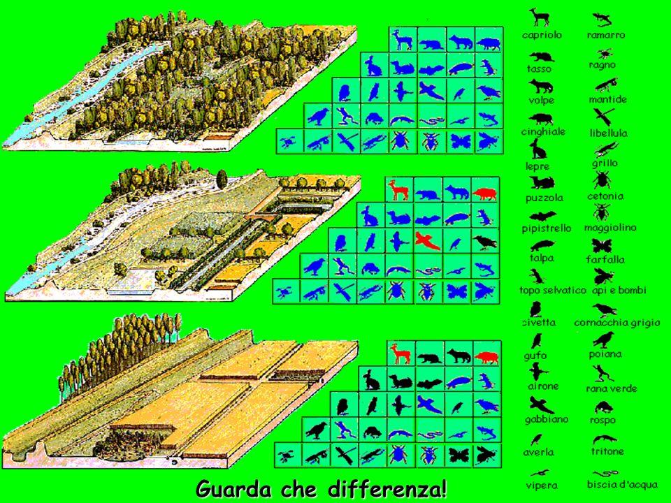 Oggi è così … … il bosco è stato tutto distrutto. Ora ci sono poche specie vegetali e tutte introdotte dalluomo. Non ci sono più piante spontanee, né