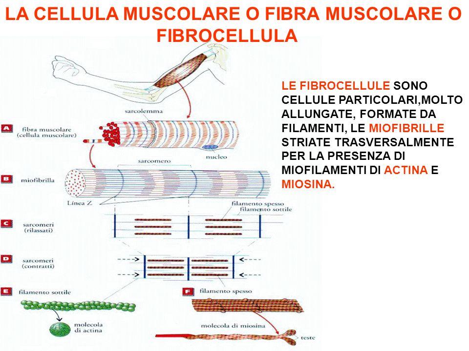 Muscolo scheletrico Avvolto da Epimisio Contiene Fibre muscolari Fascio muscolare Avvolto da Perimisio Contiene Fibre muscolari Fibra muscolare Avvolta da Endomisio Contiene miofibrille I MUSCOLI Cellula muscolare