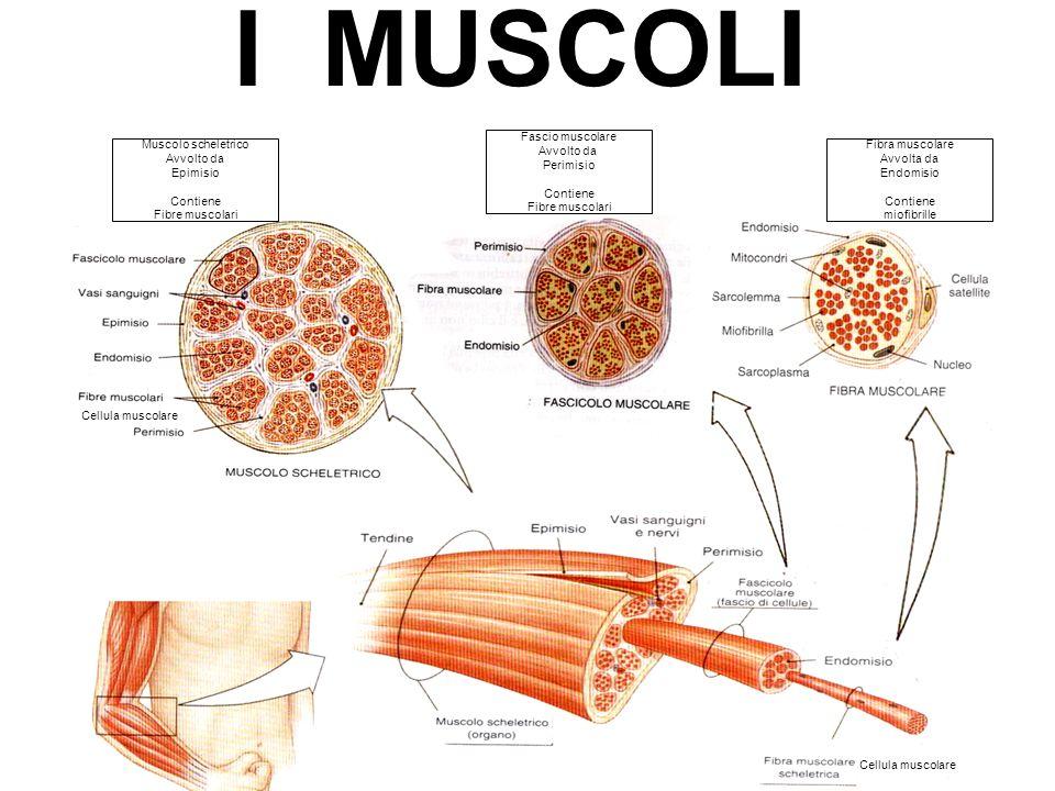 Muscolo scheletrico Avvolto da Epimisio Contiene Fibre muscolari Fascio muscolare Avvolto da Perimisio Contiene Fibre muscolari Fibra muscolare Avvolt