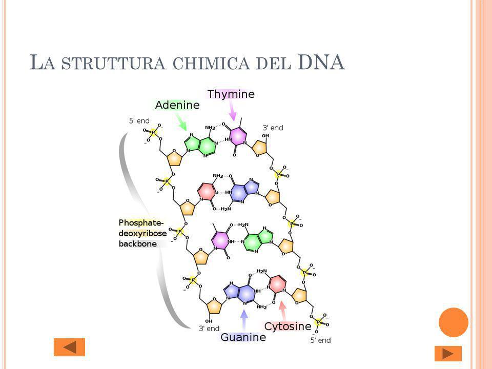 L A STRUTTURA CHIMICA DEL DNA