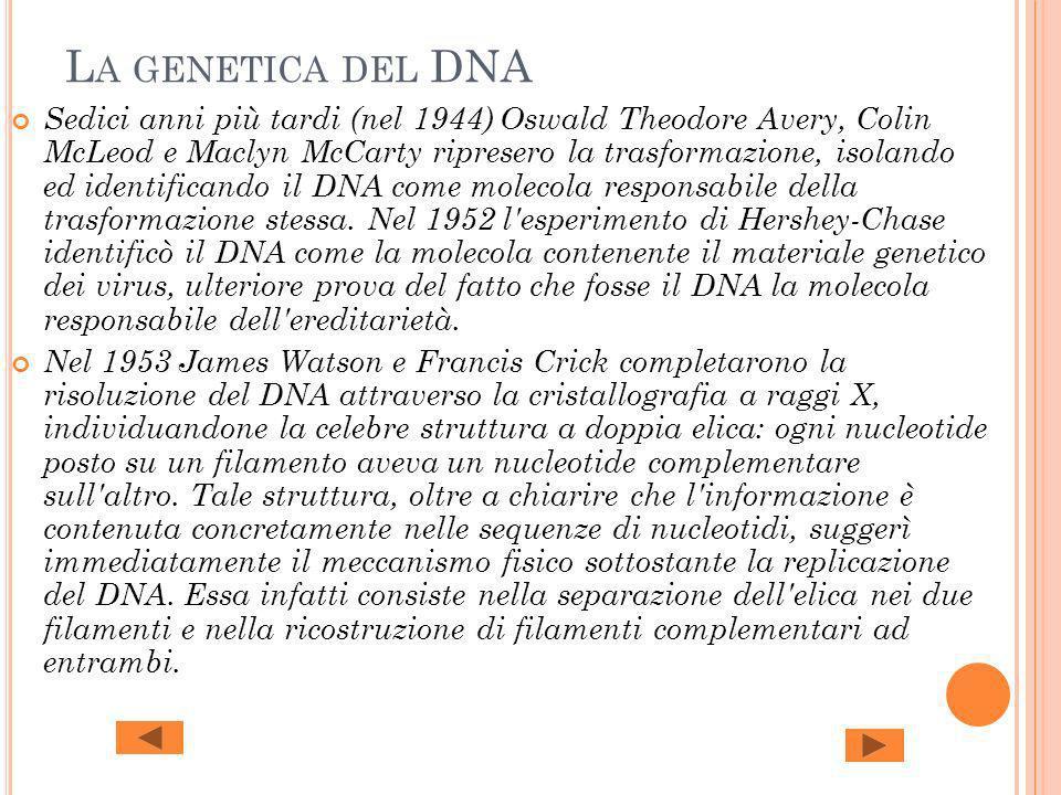 L A GENETICA DEL DNA Sedici anni più tardi (nel 1944) Oswald Theodore Avery, Colin McLeod e Maclyn McCarty ripresero la trasformazione, isolando ed id