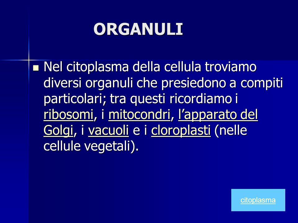 ORGANULI Nel citoplasma della cellula troviamo diversi organuli che presiedono a compiti particolari; tra questi ricordiamo i ribosomi, i mitocondri,