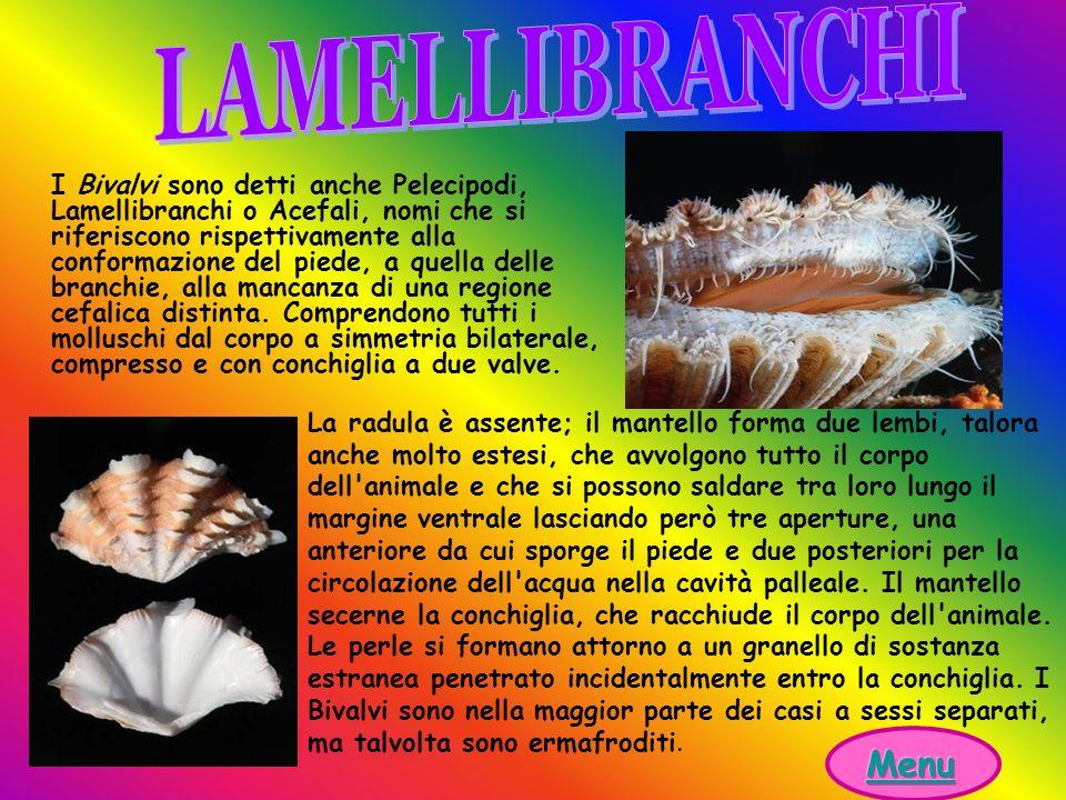 I Bivalvi sono detti anche Pelecipodi, Lamellibranchi o Acefali, nomi che si riferiscono rispettivamente alla conformazione del piede, a quella delle branchie, alla mancanza di una regione cefalica distinta.