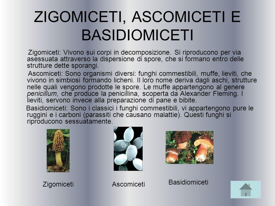 ZIGOMICETI, ASCOMICETI E BASIDIOMICETI Zigomiceti: Vivono sui corpi in decomposizione. Si riproducono per via asessuata attraverso la dispersione di s