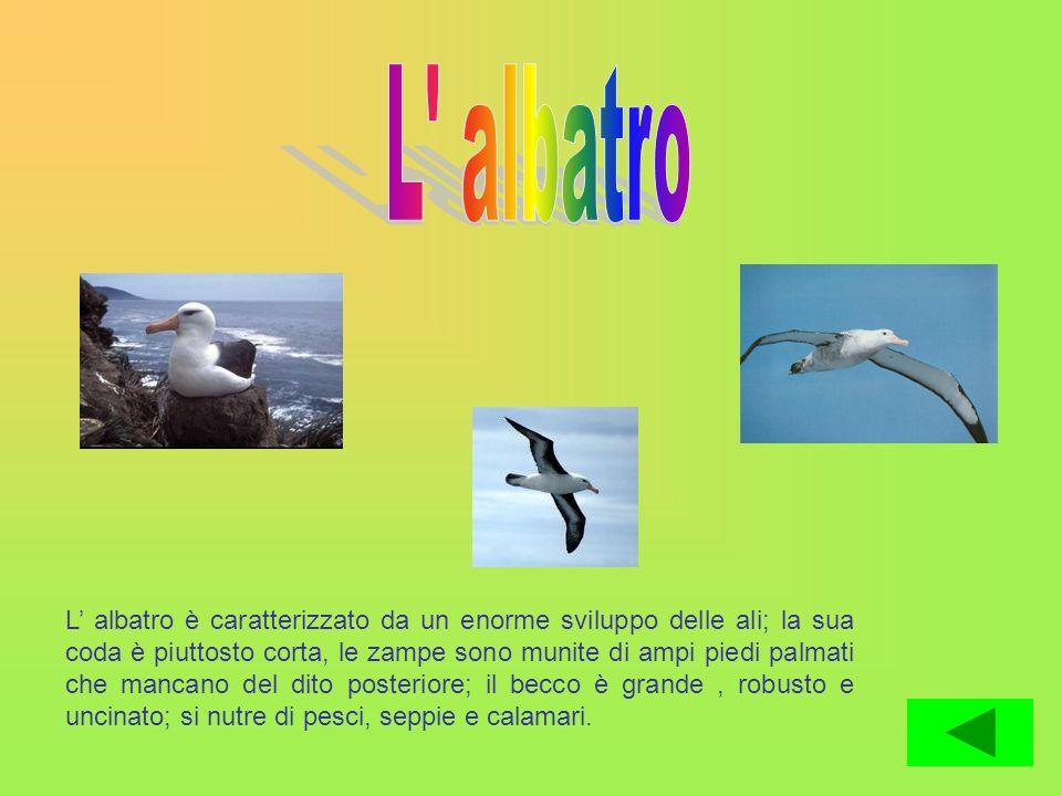 L albatro è caratterizzato da un enorme sviluppo delle ali; la sua coda è piuttosto corta, le zampe sono munite di ampi piedi palmati che mancano del