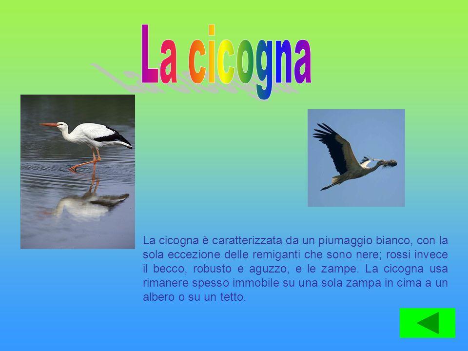 La cicogna è caratterizzata da un piumaggio bianco, con la sola eccezione delle remiganti che sono nere; rossi invece il becco, robusto e aguzzo, e le