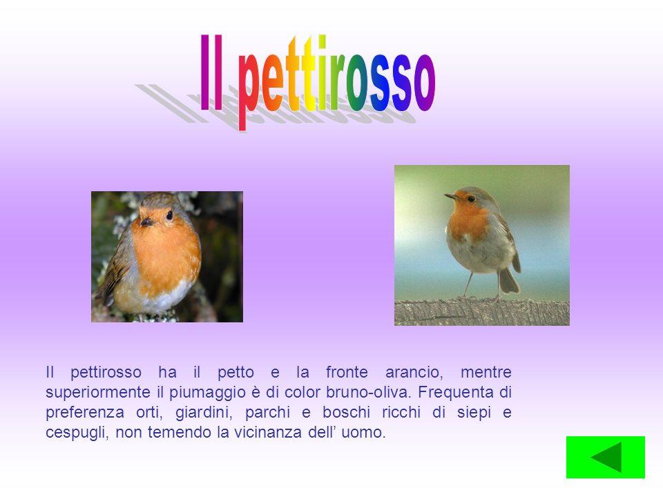 Il pettirosso ha il petto e la fronte arancio, mentre superiormente il piumaggio è di color bruno-oliva. Frequenta di preferenza orti, giardini, parch