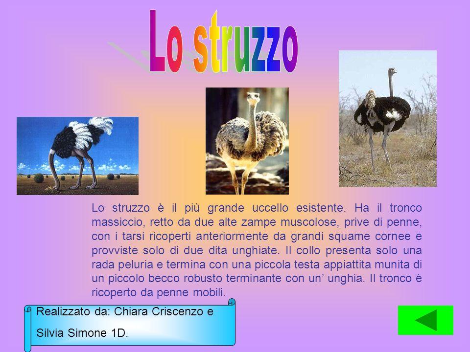 Lo struzzo è il più grande uccello esistente. Ha il tronco massiccio, retto da due alte zampe muscolose, prive di penne, con i tarsi ricoperti anterio