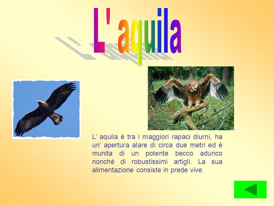 L aquila è tra i maggiori rapaci diurni, ha un apertura alare di circa due metri ed è munita di un potente becco adunco nonché di robustissimi artigli