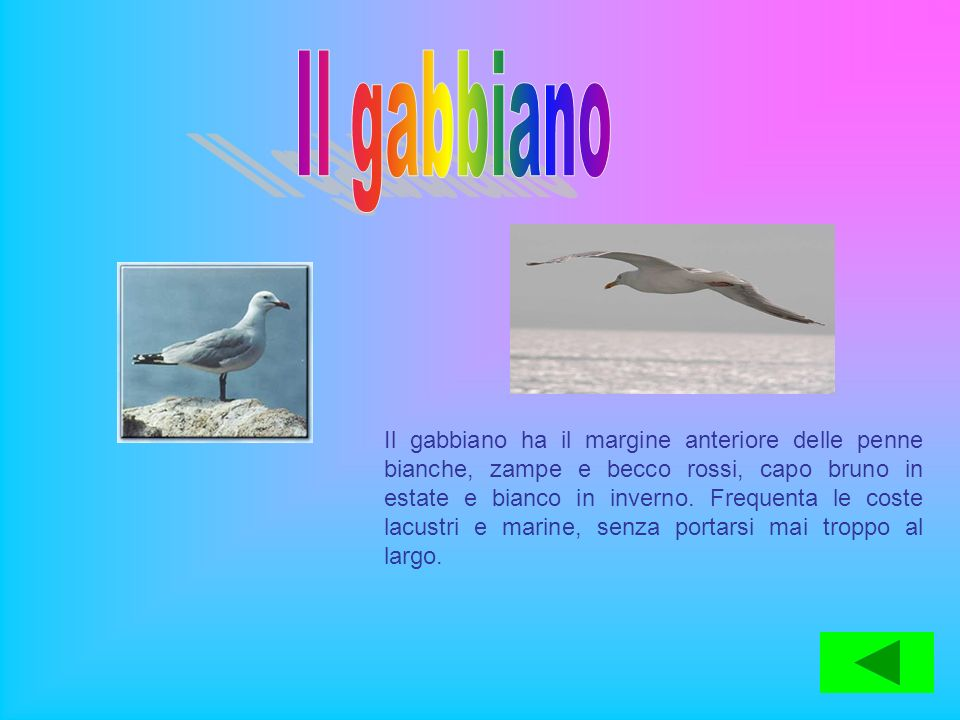 Il gabbiano ha il margine anteriore delle penne bianche, zampe e becco rossi, capo bruno in estate e bianco in inverno. Frequenta le coste lacustri e