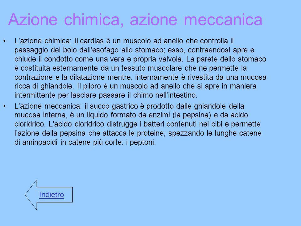 Azione chimica, azione meccanica Lazione chimica: Il cardias è un muscolo ad anello che controlla il passaggio del bolo dallesofago allo stomaco; esso