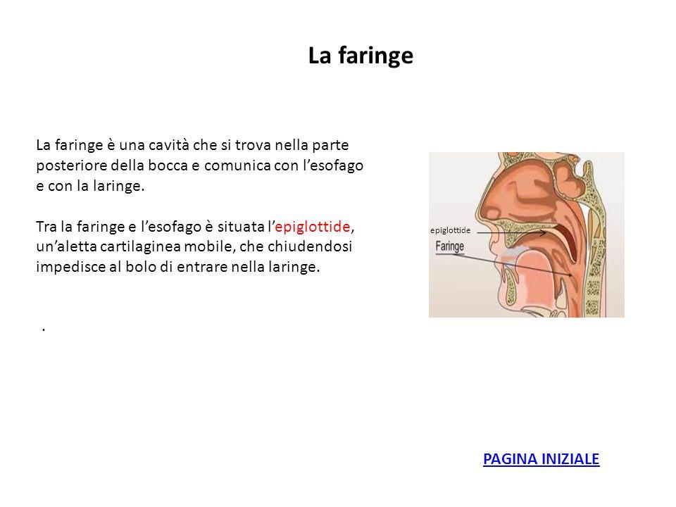 La faringe La faringe è una cavità che si trova nella parte posteriore della bocca e comunica con lesofago e con la laringe. Tra la faringe e lesofago