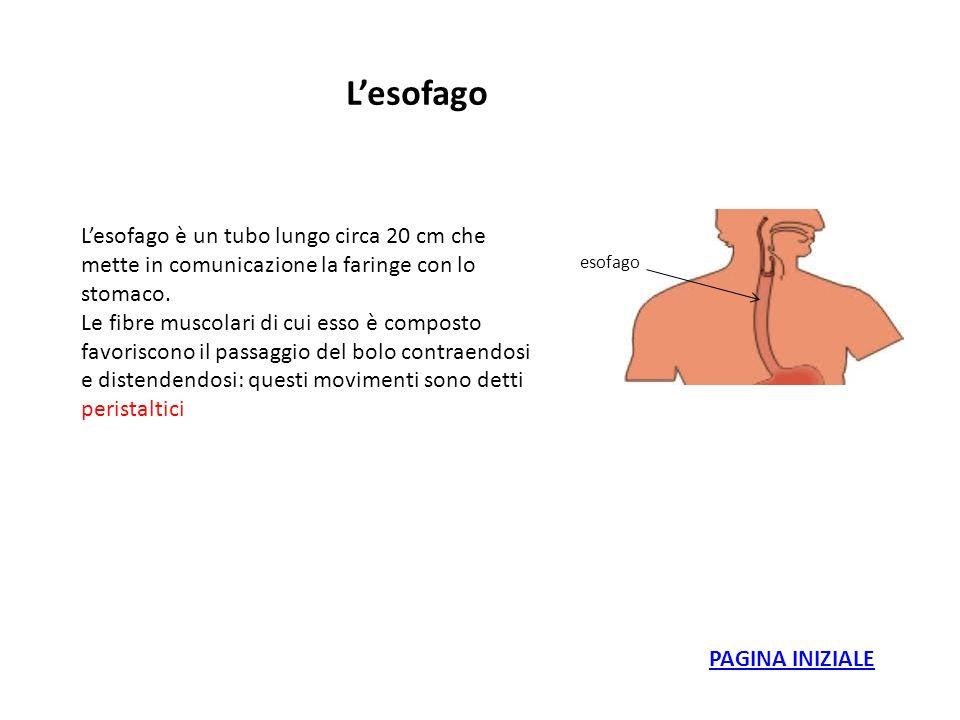 Lesofago esofago Lesofago è un tubo lungo circa 20 cm che mette in comunicazione la faringe con lo stomaco. Le fibre muscolari di cui esso è composto